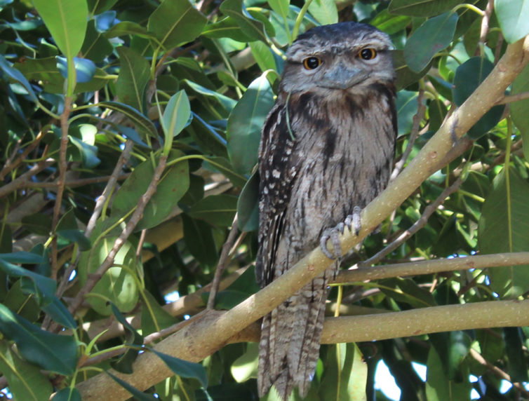 Eulenschwalm - Tawny Frogmouth